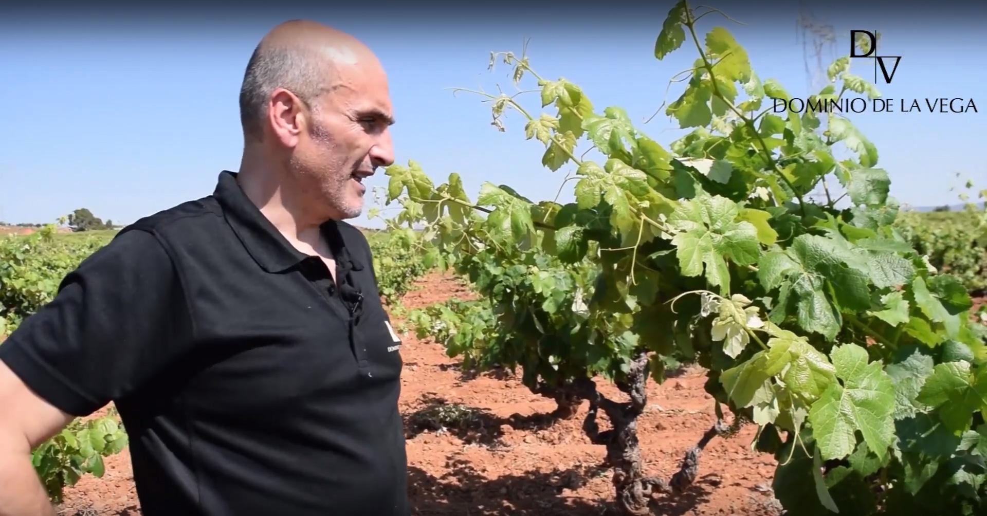 Losilla: el último terreno de Dominio De la Vega, ejemplo de viñedo antiguo